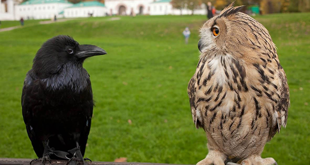 Crows and owls