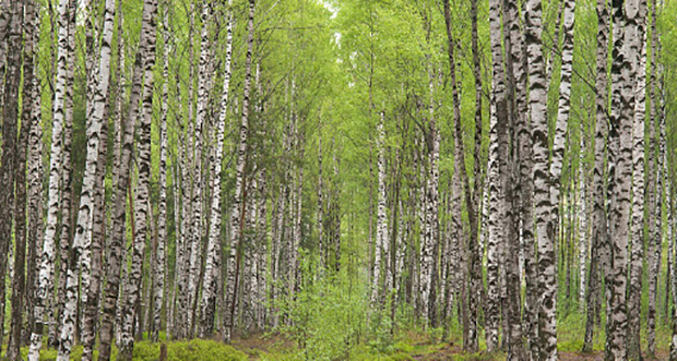 Birch forests