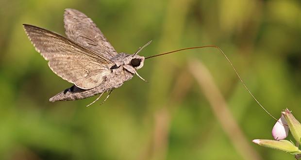 Flying moth