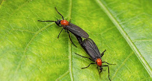 Lovebug fly