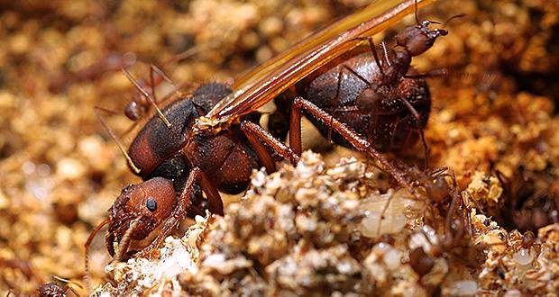 Ant queens
