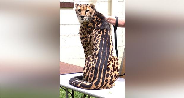 King cheetahs