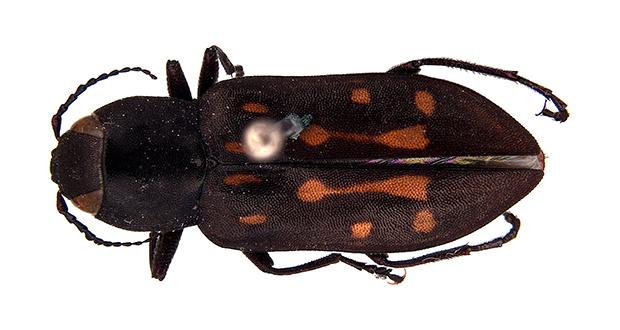 Charcoal beetles