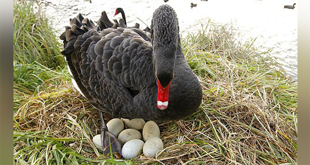 Black swan eggs