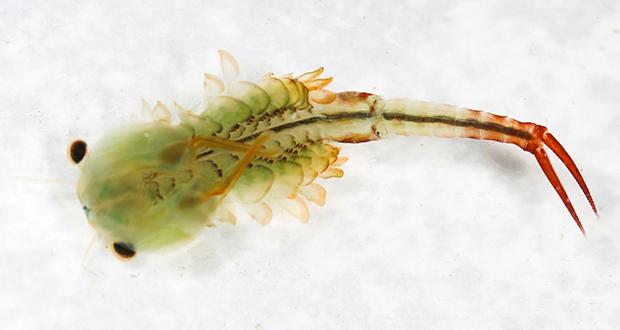 Florida fairy shrimp
