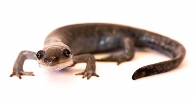 Unisexual salamander