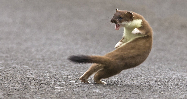 Weasel war dance