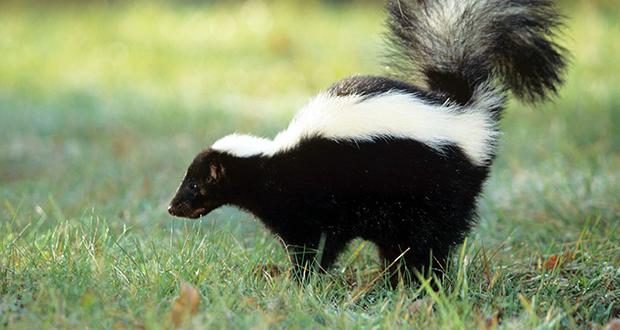 Skunk spray smell