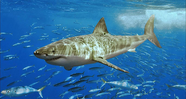 The White Shark Cafe