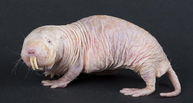Naked Mole Rats