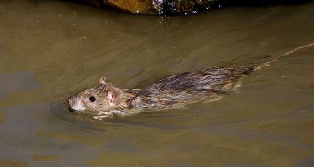 Rats in Water