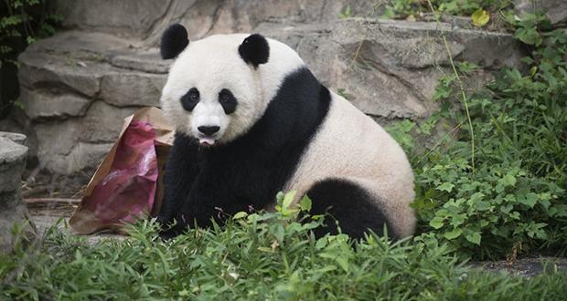 Panda Fake Pregnancy