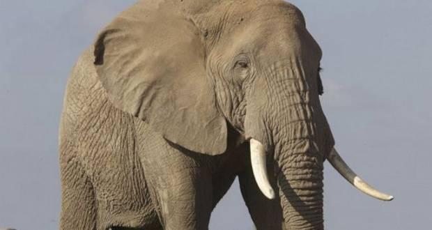 Vatsala the Elephant