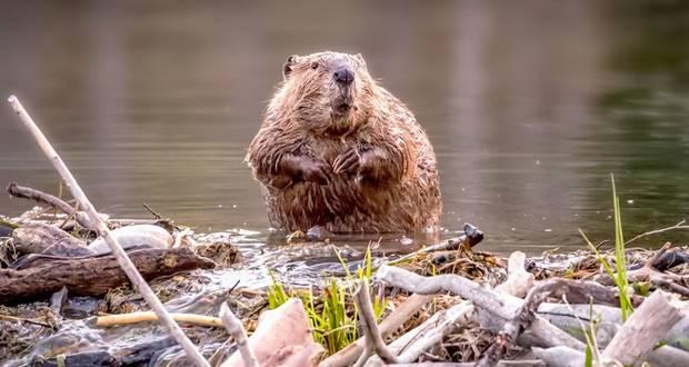 Beavers & Dams