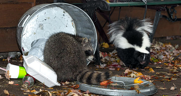 Raccoons and Skunks