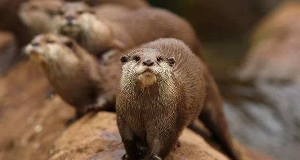 Otter Hair