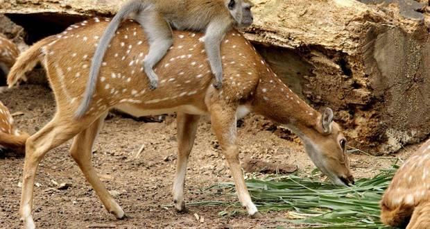 Deer-Monkey Relationship