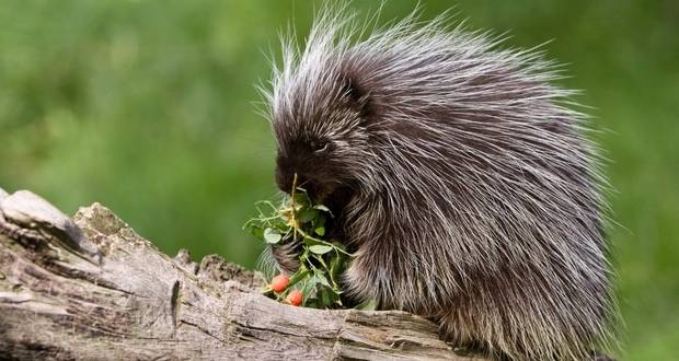 Porcupines Eating Bones