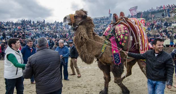 Tulu Camel