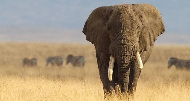 Cancer-Free Elephants