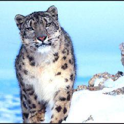 Snow Leopard Anatomy Diagram Platinum Air Suspension Wiring Leopards Characteristics Hunting Behavior Humans And
