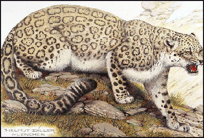 snow leopard anatomy diagram 4way dlx leopards characteristics hunting behavior humans and in contrast to many of the other great cats dr schaller told new york times i don t know a single case that would attack