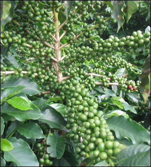 Immature coffee