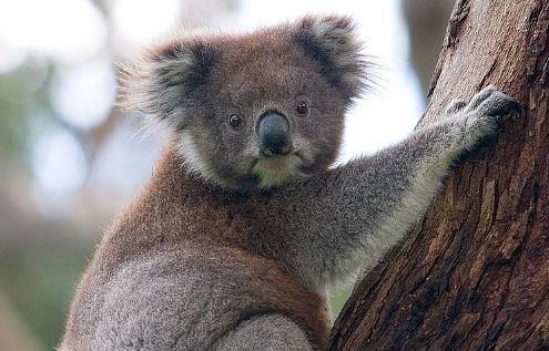 A koala bear