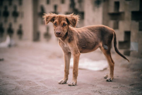 Sıska Köpek