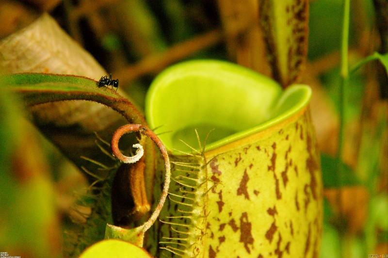 Carnivorous Plants Venus Flytrap Sundew Plant Pitcher