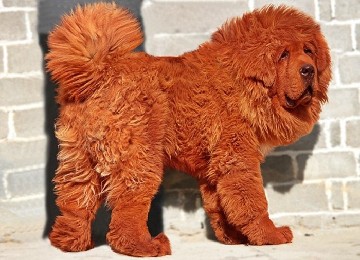 The Most Expensive Dog: Red Tibetan Mastiff : Facts List