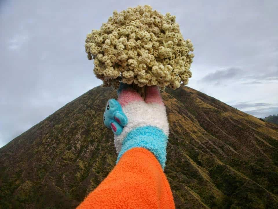 Edelweiss Flower Facts In Indonesia Everlasting Flower