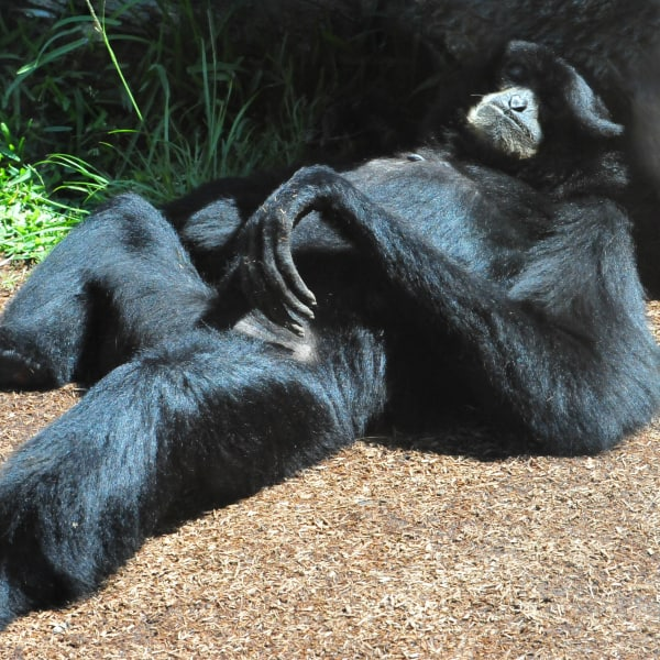 Top 9 Interesting Siamang Gibbon Facts  Endangered  Facts of Indonesia