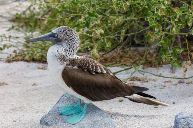 Mavi ayaklı sümsük kuşu