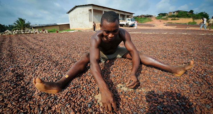 Chokladträd växer och kakao produktion