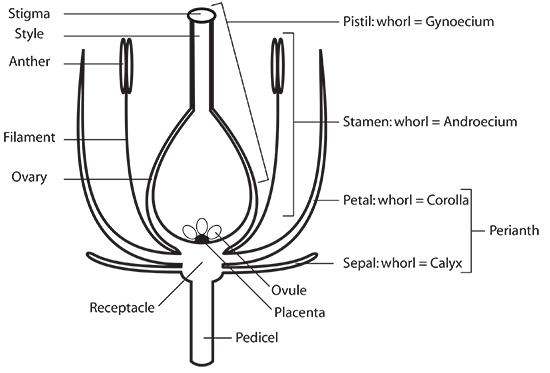 Anthophyta, Laboratory Notes for BIO 1003