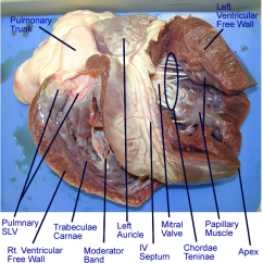 Cat Dissection Muscle Diagram Back Parallel Wiring Speakers Heart : Gross Anatomy