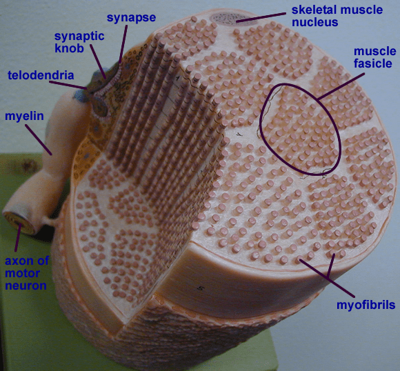 cardiac muscle tissue diagram labeled wiring for bt openreach master socket mk2 biology 2404 a&p basics