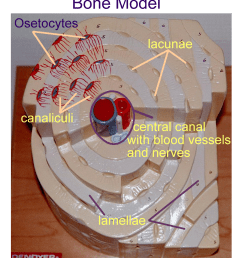 diagram of the osteon labeled bone tissue labeled wire diagrams osteocyte diagram labeled diagram of osteon [ 888 x 997 Pixel ]