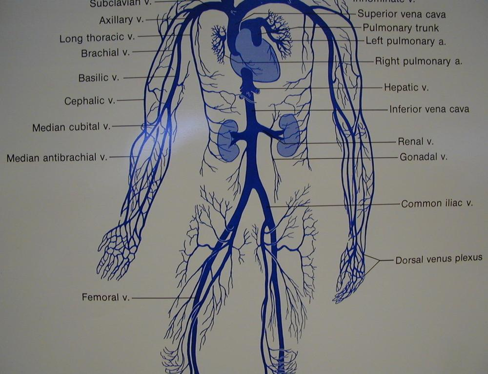 medium resolution of diagram of artery throughout body