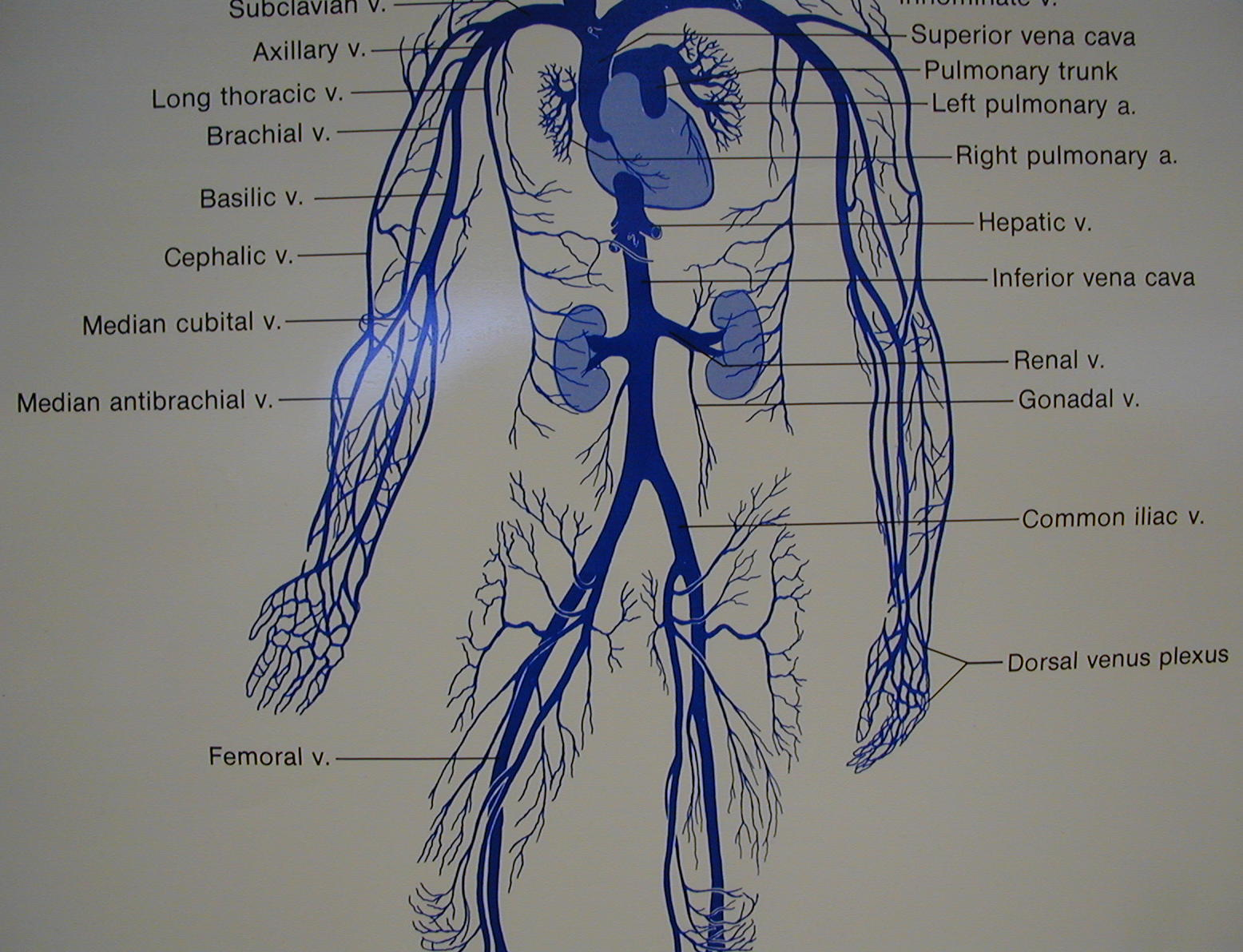 hight resolution of diagram of artery throughout body