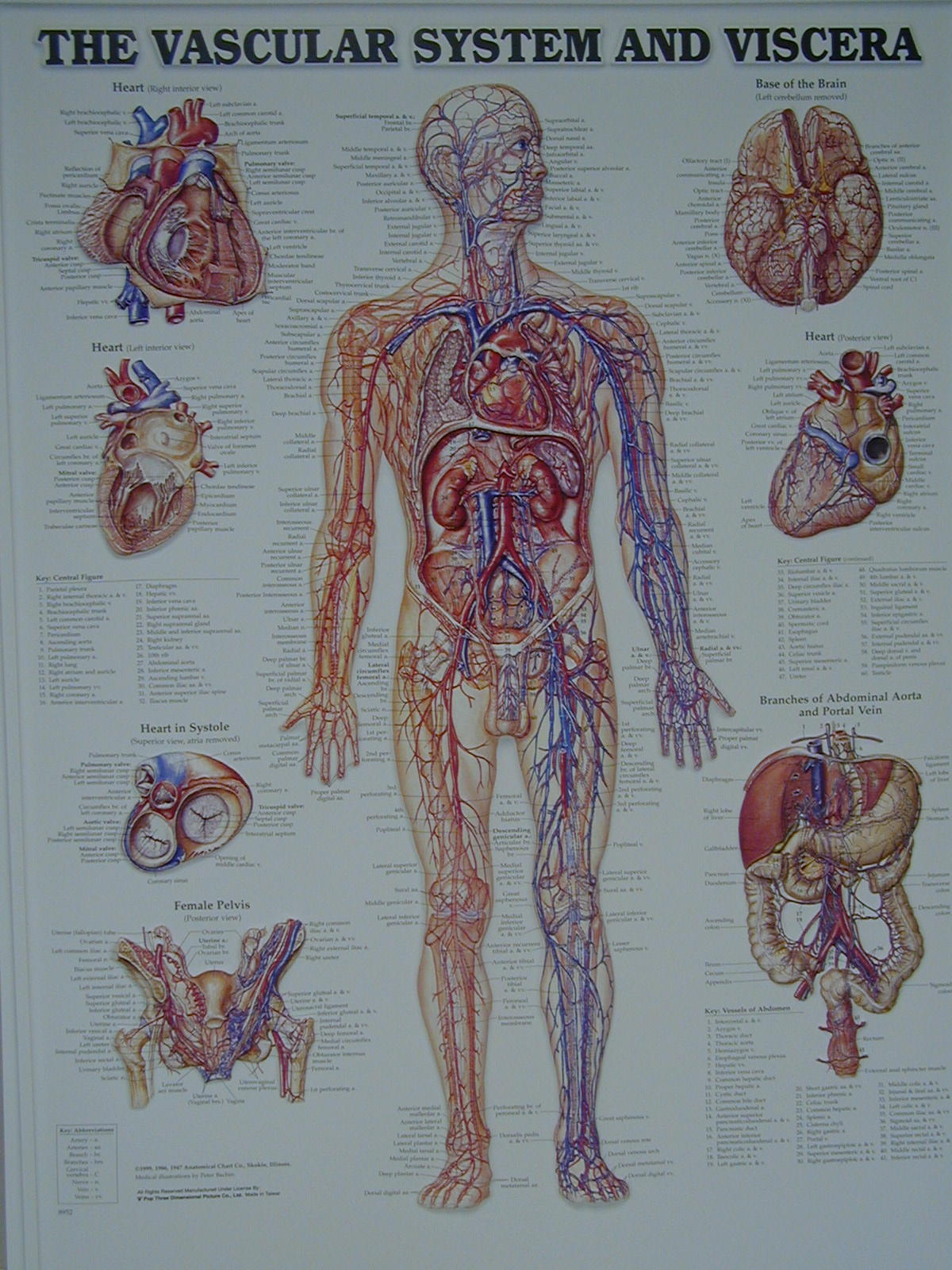 vascular anatomy diagram lower international 4300 stereo wiring vessel lab man whole view upper portion middle
