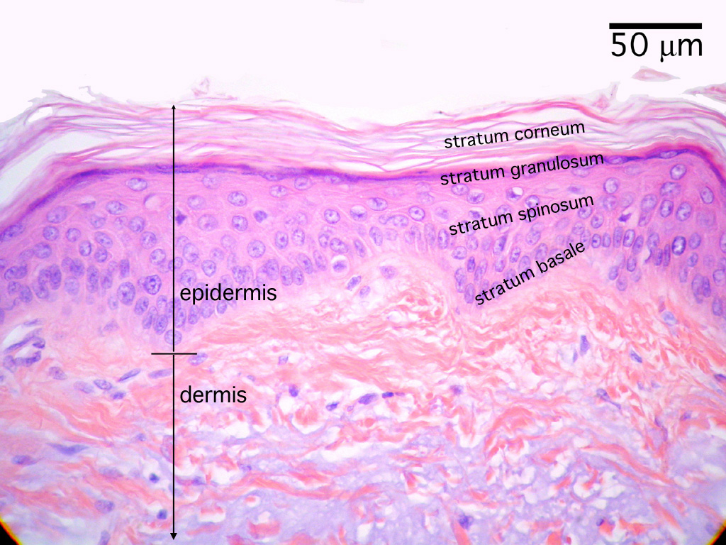 Histology Epithlium Lab Scalp Slide