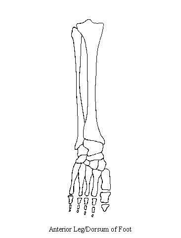wrist and hand unlabeled diagram arduino uno pinout leg wiring schematic anteriorleg left an of the bones from anterior