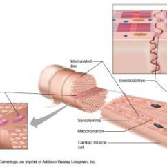 Human Muscle Cell Diagram Labeled Ford 300 Inline 6 Wiring Histology Of