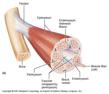 human muscle cell diagram coriolis flow meter wiring histology of the is made up smaller bundles known as fascicles are actually individual cells myofibers or myocytes