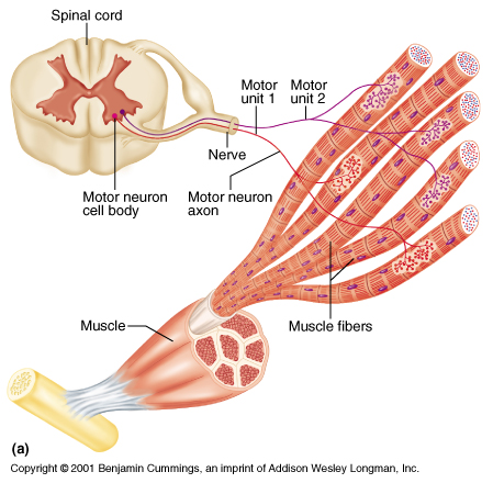 human muscle cell diagram net diagrams of 3d shapes histology note that this shows a neuromuscular junction one motor neuron with fiber in unit the branches to form