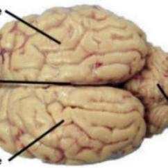 Sheep Brain Superior View Diagram Dodge Truck Fuse Box A&p 2 Lab Page 7