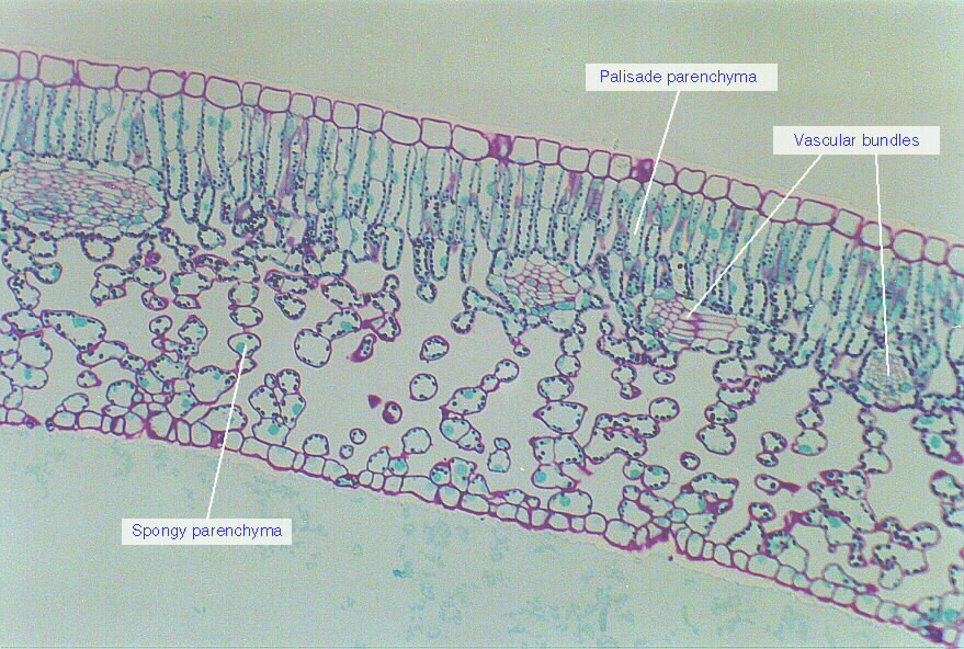 dicot leaf labeled diagram apc ups battery wiring privet cross-section.