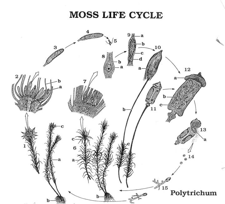 life cycle of a labeled moss diagram speaker jack wiring lab purpose question 13can you think any evolutionary implications the similarity between protonema and filamentous green alga